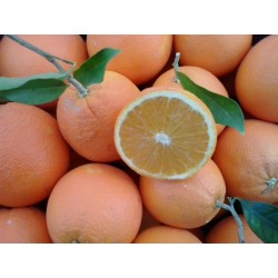Kiste Bio Orangen Washington 10kg